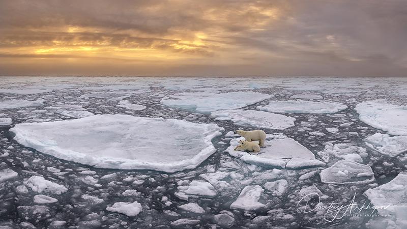 Белые медведи среди арктических льдов