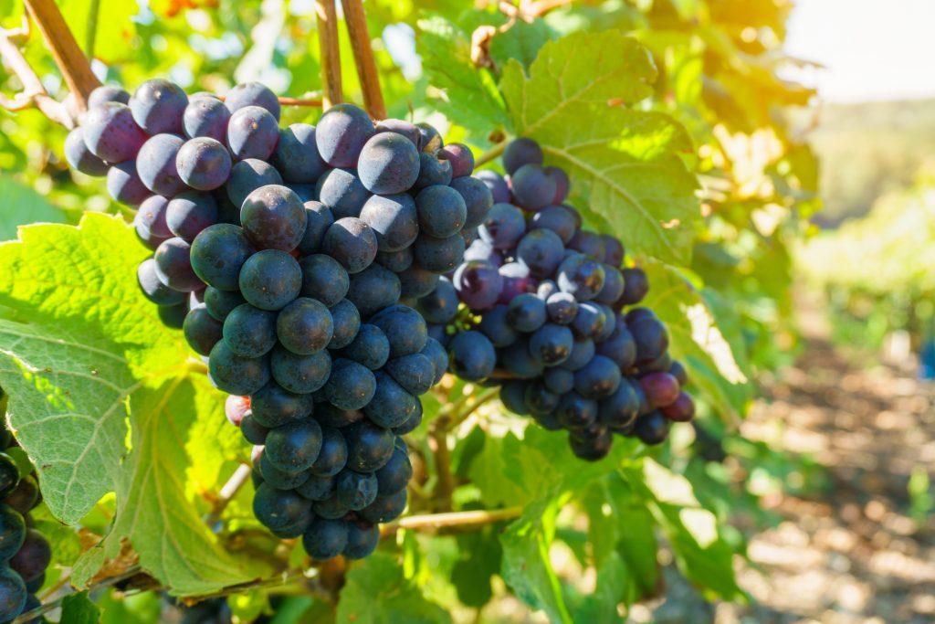 прекрасный головной виноград мираж описание сорта фото отметить