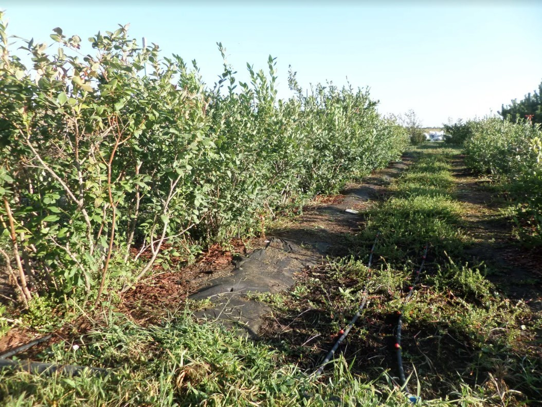 Саженцы высаживают в траншею на расстоянии 1,5 метра друг от друга