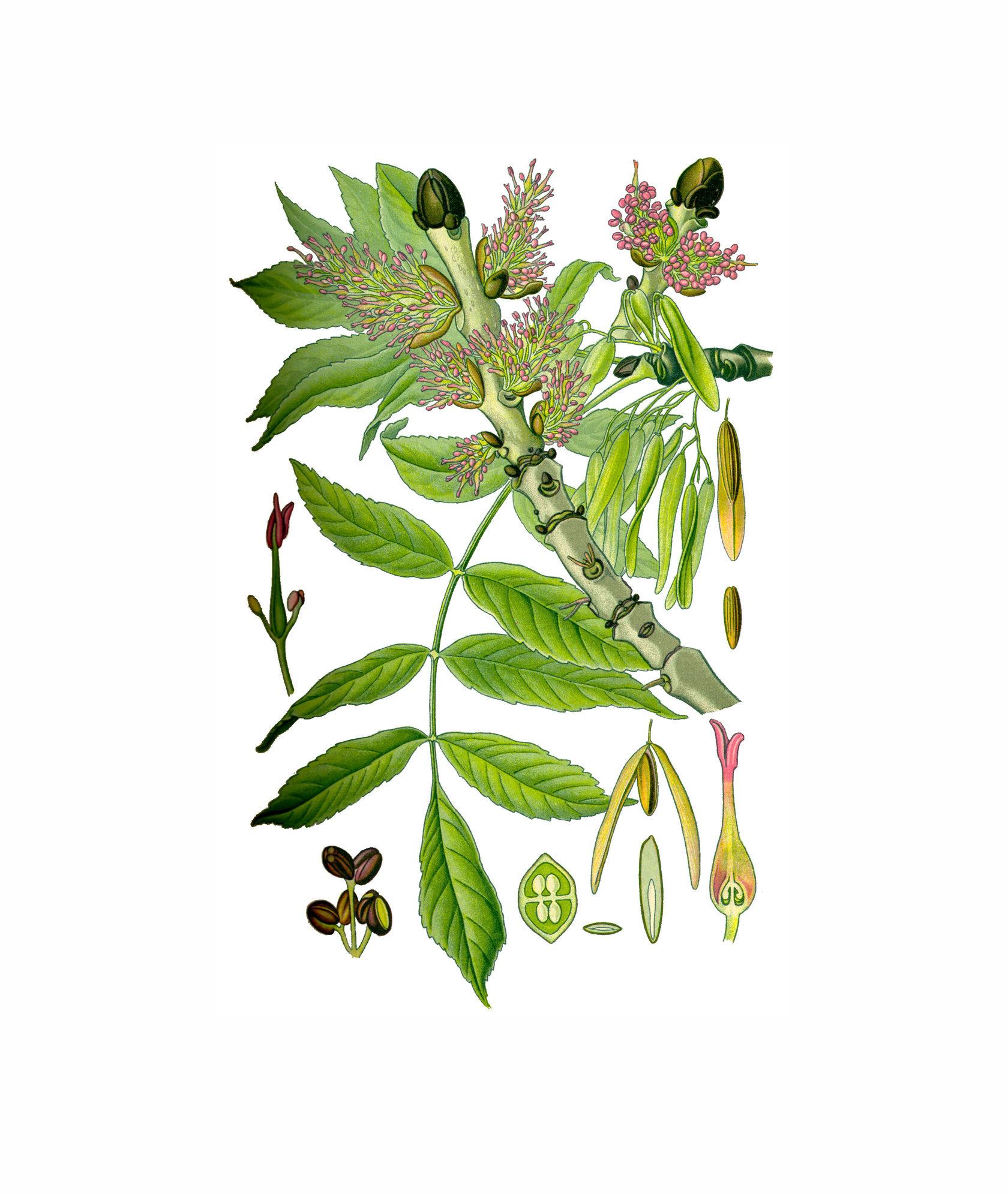 ясень с семенами картинки фотографом или художником