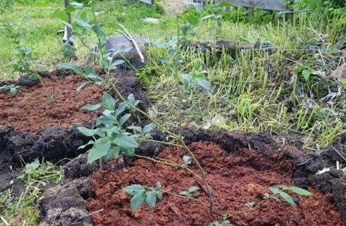Куст Авроры высаживают в ямку с подготовленной почвой