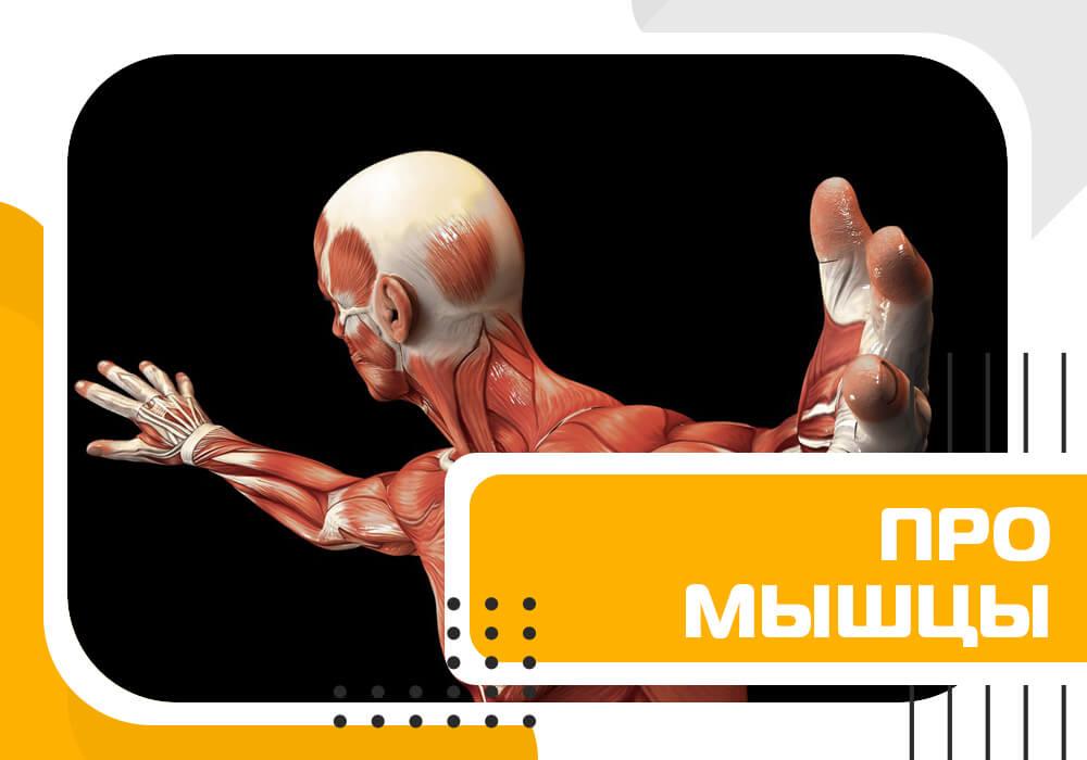 Про особенности мышц из обучения по анатомии фитнеса