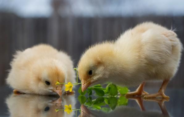 Суточные индюшата цыплята оптом