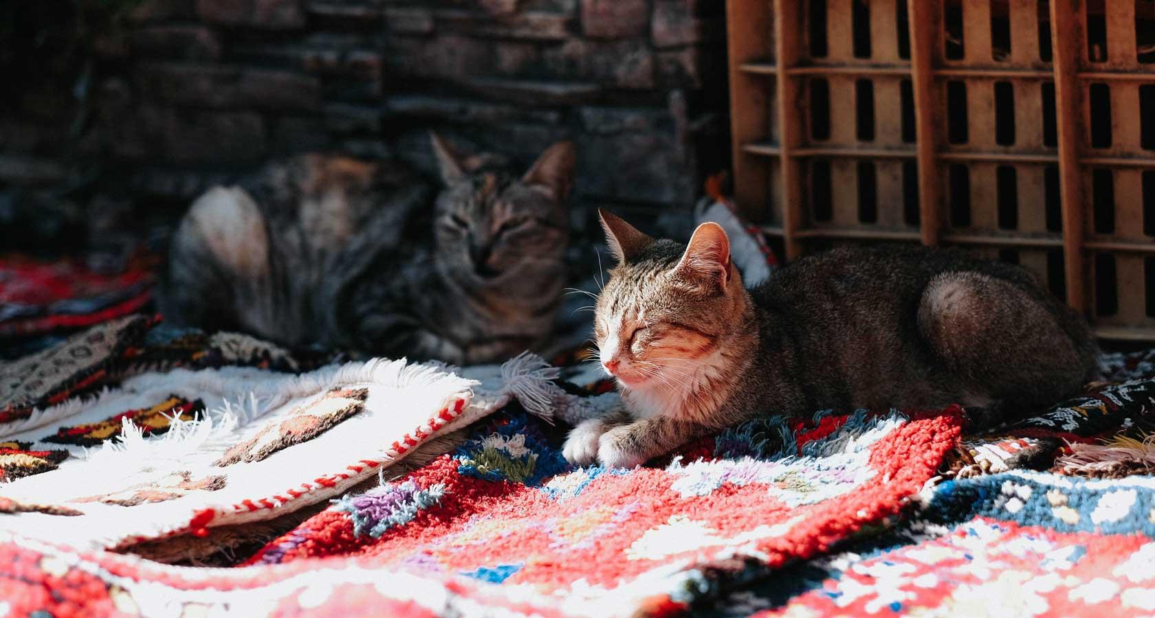 марокко уличные коты в лавках торговцев
