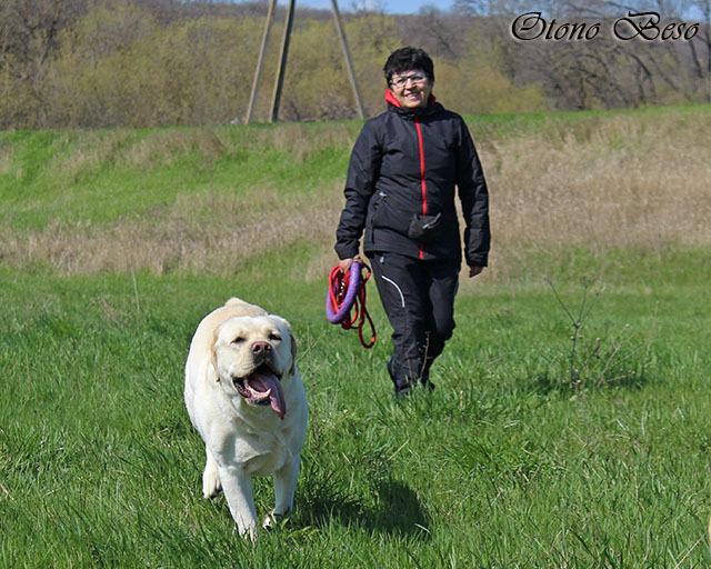 Лабрадор активная и дружелюбная собака