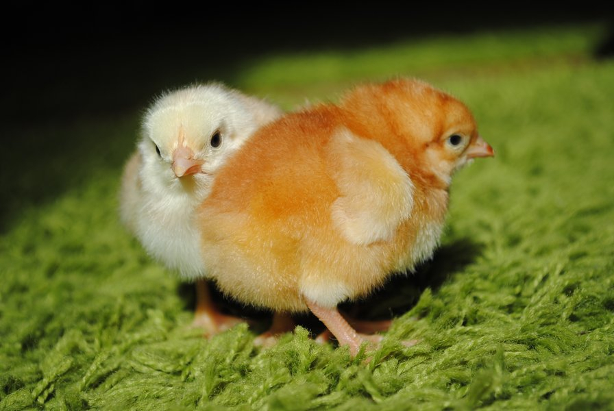 Доставка суточных цыплят Ростовская область