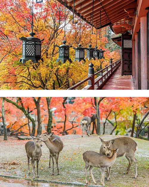 Олени в осенний день в парке в городе Нара