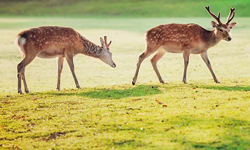 Олени прогуливаются в парке города Нара ранним утром