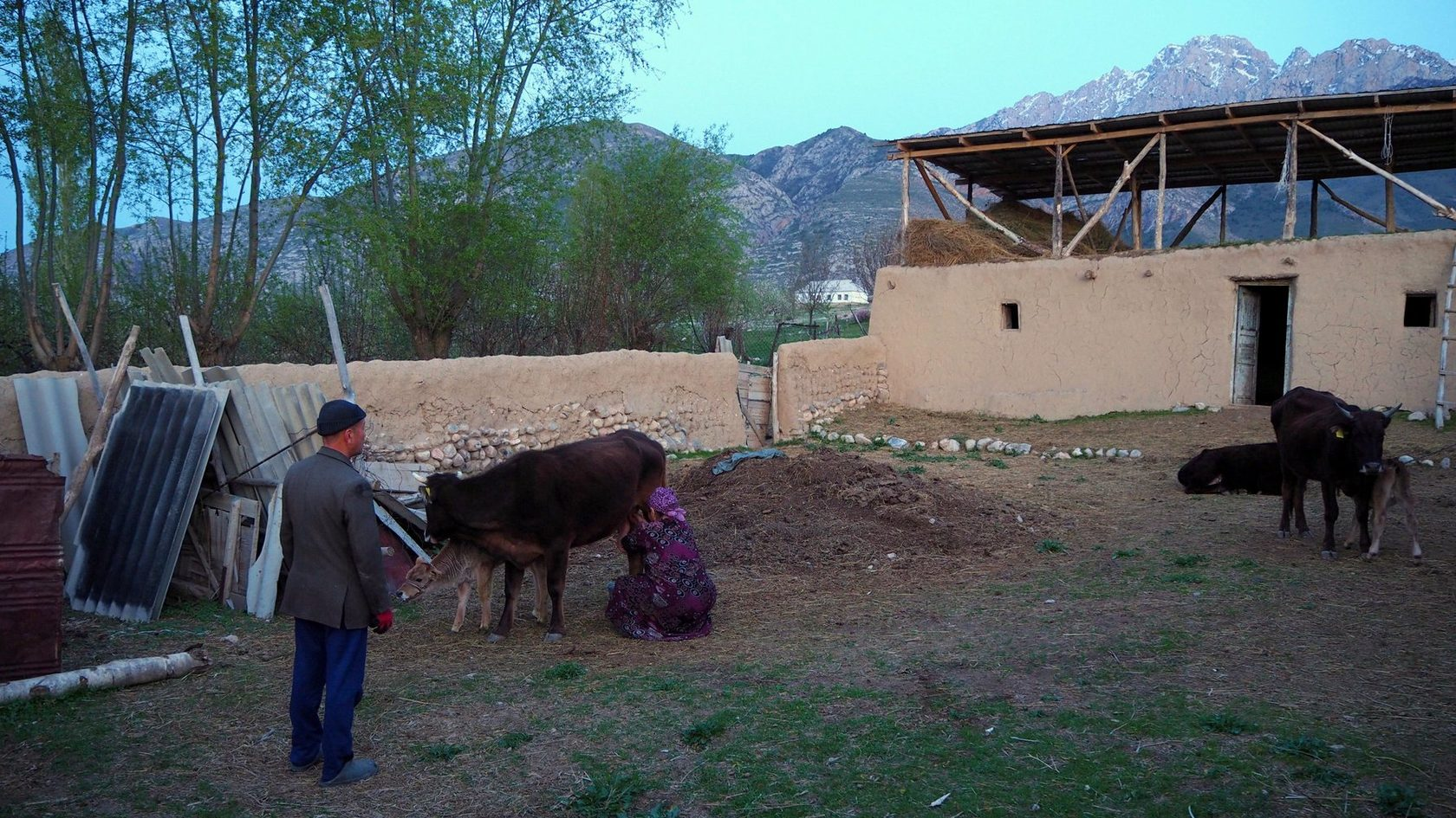 вечерний надой коров