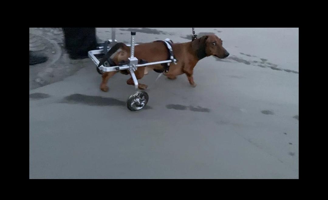 Инвалидная коляска для такс
