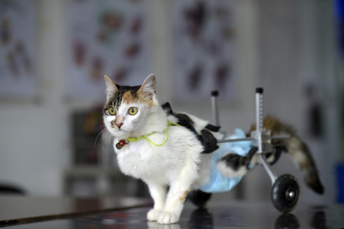 Купить инвалидную коляску для кошечки