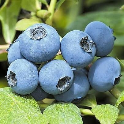 У голубики Хурон средние выровненные плоды