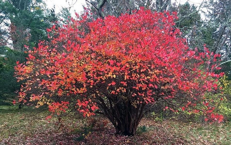 Огненный окрас листвы и молодого прироста, который они приобретают осенью указывает на супер зимостойкость сорта. Данный куст нуждается в обрезке от загущения!
