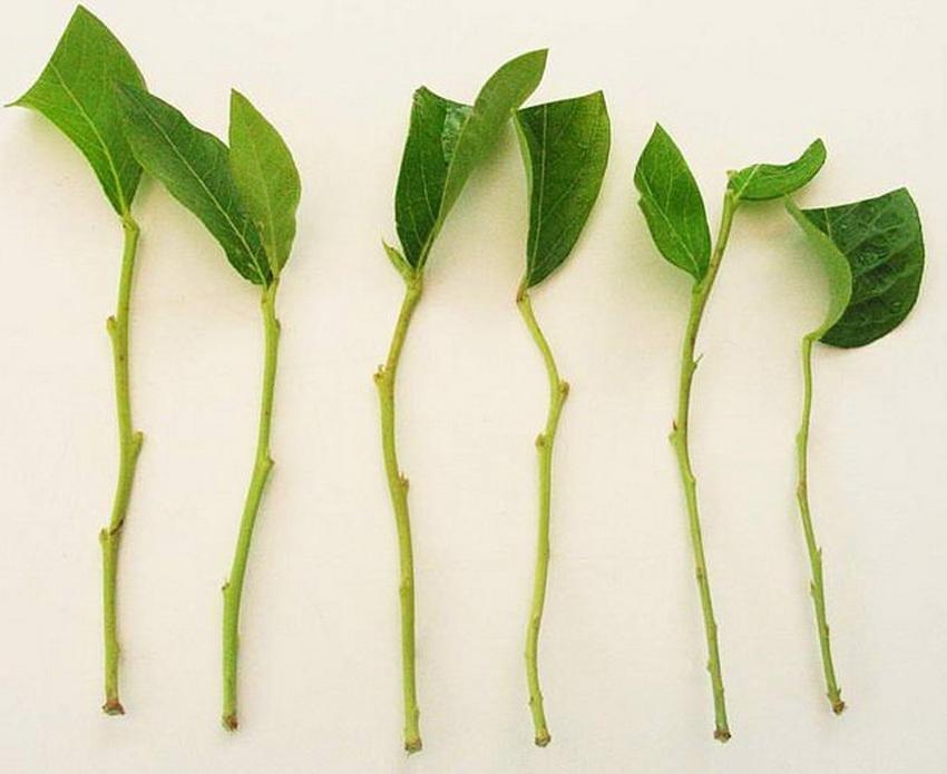 Черенки должны иметь не менее 3-4 вегетативных почек