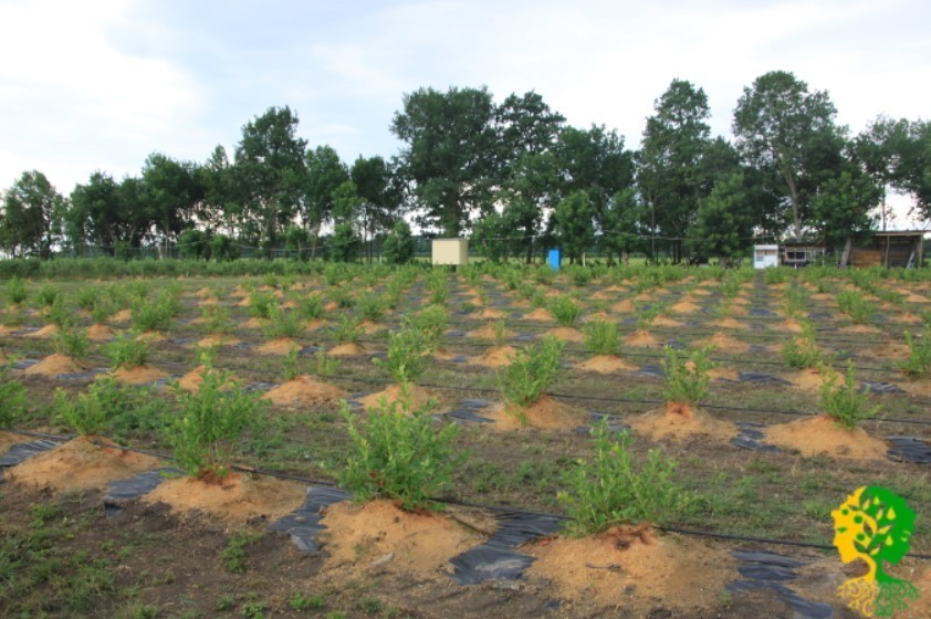 Если на участке грунтовые воды близко подходят к поверхности, то лучше подготовить для саженцев высокие грядки (высота 25-35см над почвой).