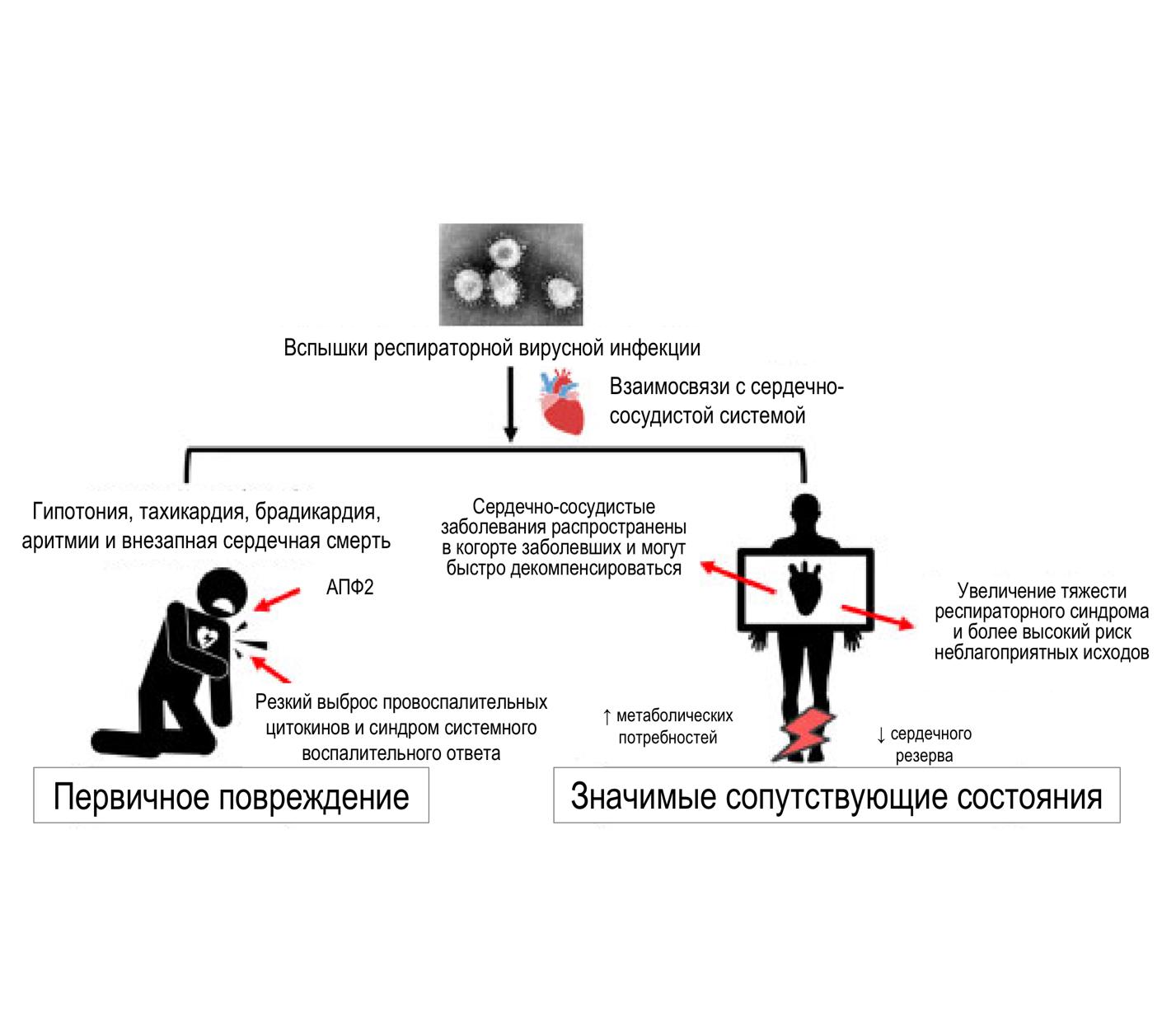 Ключевые моменты в отношении взаимодействия коронавирусов и сердечно-сосудистой системы