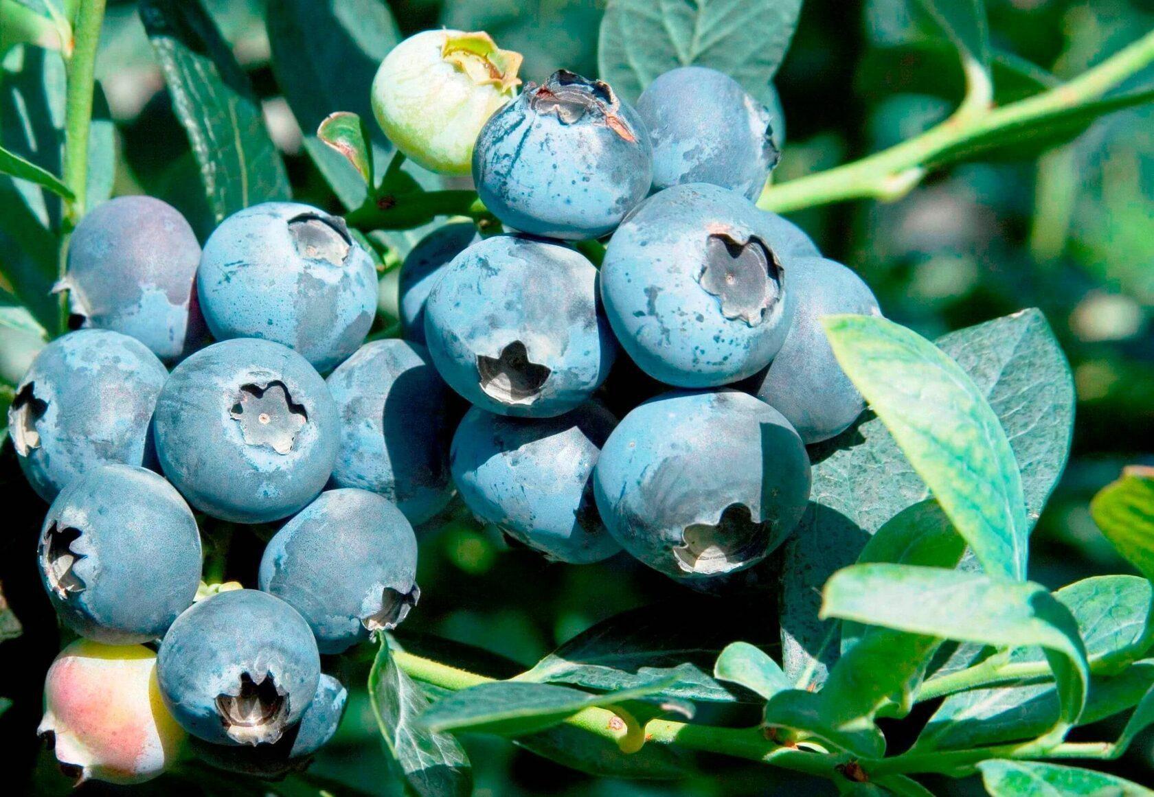 Плоды отличаются насыщенным вкусом и тонким ароматом