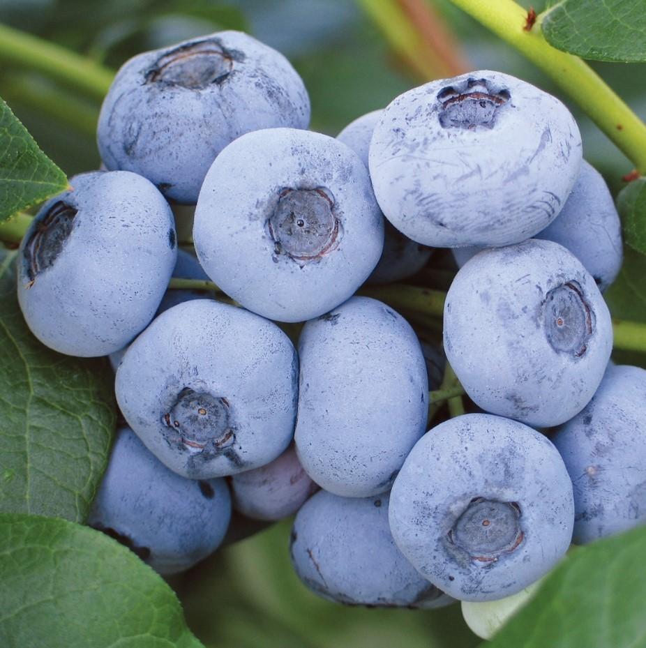 Голубика Либерти, кроме вкусных транспортабельных ягод, порадует декоративными свойствами