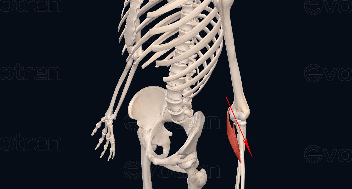 Направление мышцы круглый пронатор